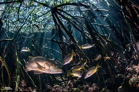 Photo by Enric Sala/National Geographic Juvenile snappers find protection from predators among the densely woven roots of mangroves at Fernandina Island. As adults, their roles will change, and they will be the ones hunting for smaller species in the same environment.