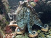 octopus intelligence