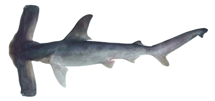 Eusphyra blochii - Slender Hammerhead or Winghead Shark. By CSIRO National fish Collection [CC BY 3.0 au]
