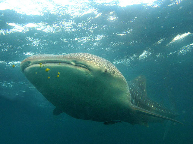 Whale shark by Tim Nicholson