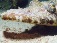 Carpetflathead or Crocodilefish