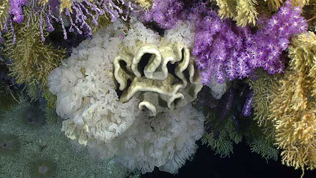An unusual umbrella-shaped pedestal that was covered with corals and sponges towards the end of Dive 05 of the expedition. Zooming in revealed numerous shrimp, crabs, brittle stars, and fish living within this structure.