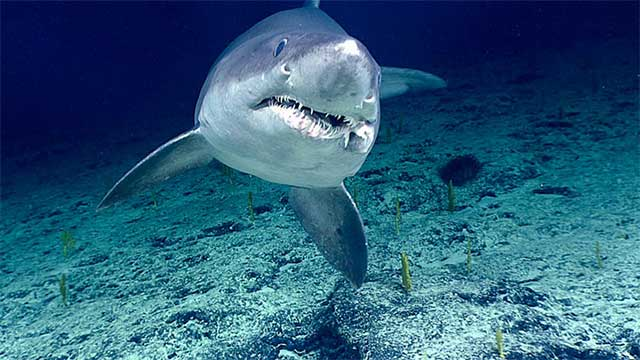 Smalltooth sand tiger shark at ~1,025 meters (~3,360 feet) of depth on Kingman Cone.
