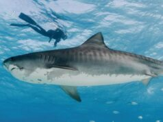 Florida sharks worth more alive than dead, says study