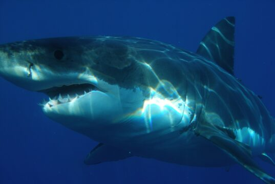 White Shark, Carcharodon carcharias