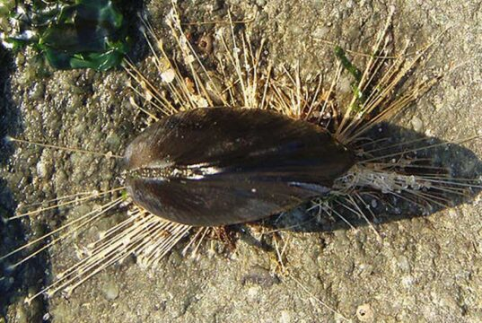 Mussel with Byssus threads showing