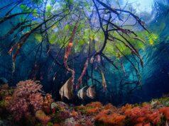 Best Overall Underwater Photography Contest Rosenstiel School Beth Watson Mangroves and Orbicular Batfish (Platax orbicularis)