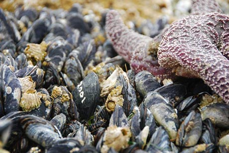 Robomussel, seen among living mussels and other sea creatures. Photo credit: Allison Matzelle