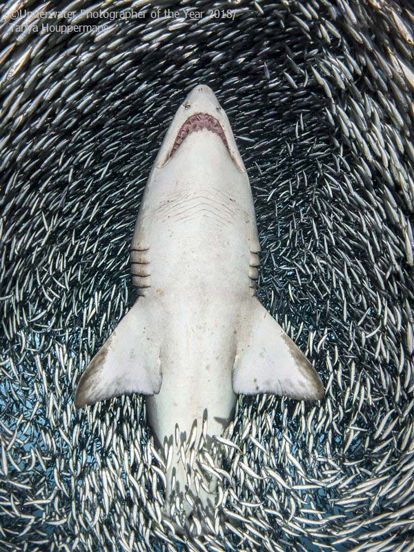 A sand tiger shark surrounded by tiny bait fish' - Tanya Houppermans