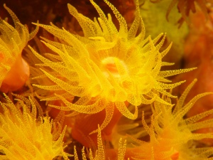 Cup coral
