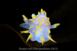Polycera quadrilineata nudibranch, Norway