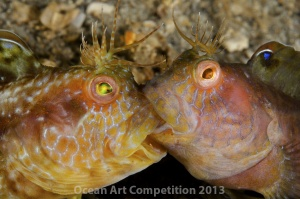 Two blennies lock jaws in a fight, Blue Heron Bridge, Riviera Beach, Florida