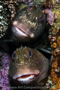 Two blennies share a home in Maremorto lagoon, Italy
