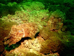 Cuttlefish camouflage