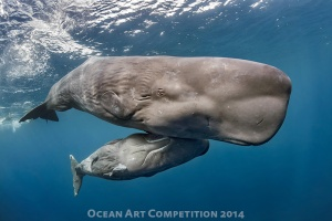 Sperm Whale by David Salvatori Shot at Dominica Island with Nikon D800E
