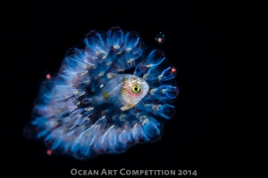 by Ron Watkins, macro winner. Shot on black water dive in Hawaii