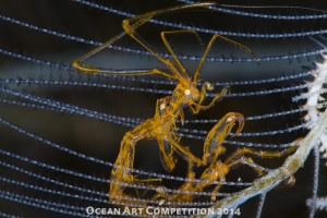 Skeleton shrimp macro