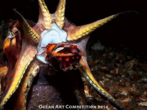 Flamboyant cuttlefish mating
