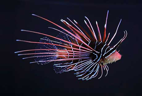 Clearfin lionfish, Pterois radiata