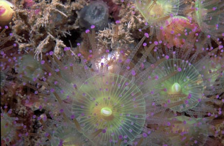 green and purple anemones, Corynactis viridis
