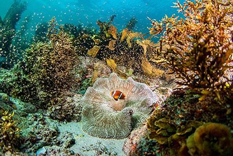 Clownfish with kelp