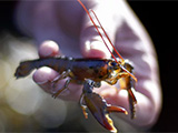Baby lobsters in hot water as ocean temperatures rise