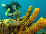 Diver looking at sponges in Belize