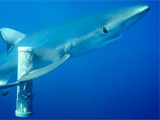 Blue shark and bait cannister