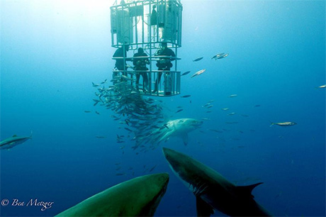 Cage diving in Guadalupe