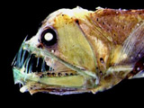 Deep sea fish remove million tonnes CO2