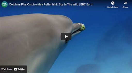 Dolphin with pufferfish