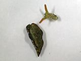 Elysia marginata