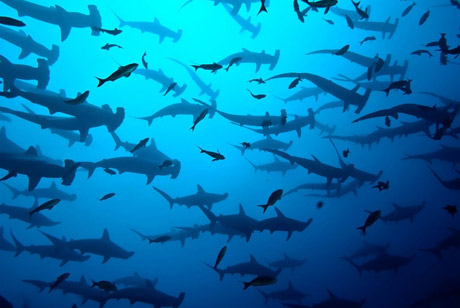 Hammerhead sharks in the Galapagos
