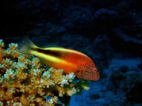 Speckled hawkfish
