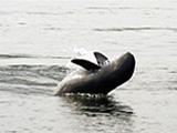 Irrwaddy Dolphin