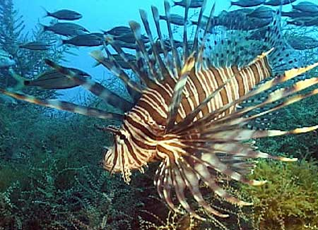 Lion Fish in USA by Paula Whitfield