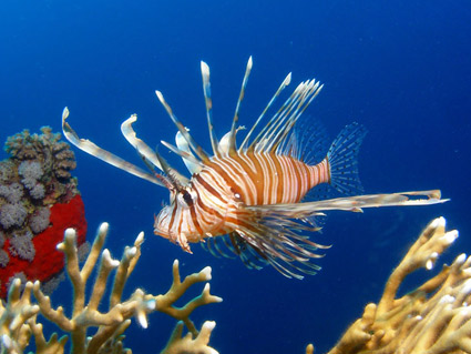 Lionfish communicate to hunt