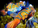 Diving Malaysia, Mandarin fish by Steve Childs