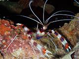 Philippines shrimp