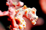 Pygmy seahorse by Bali Hai Diving Adventures