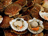 Scallops are among the species that will be affected