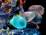 Sea squirts