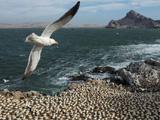 Swooping seabird