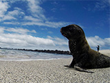 Sealion in the Galapagos