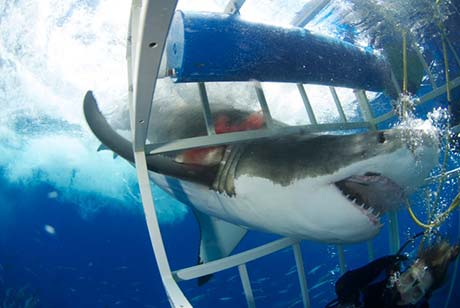 Great White Shark enters cage with divers