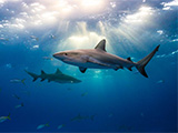 Sharks in the sea