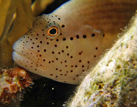 Speckled hawkfish always has red freckles