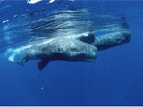 Sperm Whales