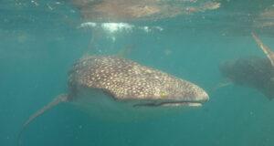 Whale shark by Tim Nicholson