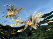 Lion fish at dawn, copyright Ocean Art Photo Competition